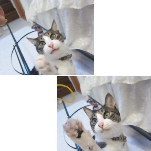 catsわごむ