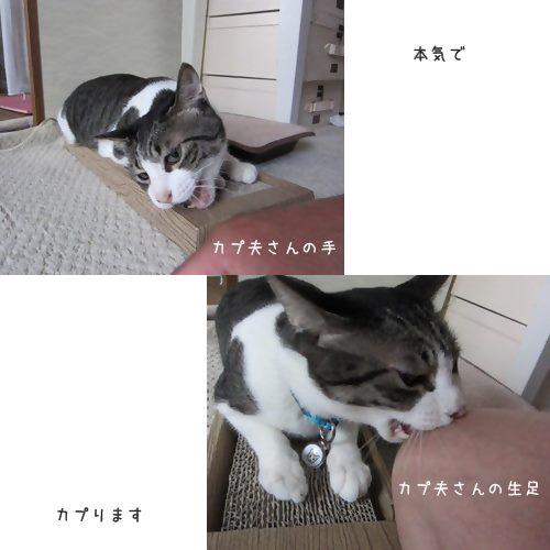 catsカプる