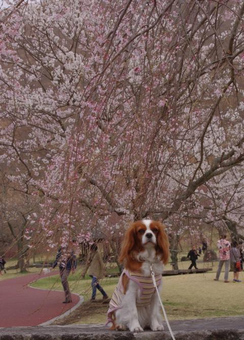 323_2枝垂れ桜