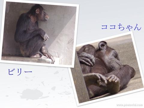 324_9チンパンジー