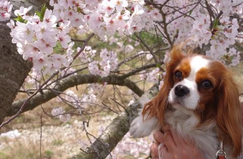 330_3Latteと桜