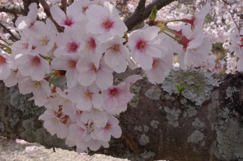 330_6桜アップ