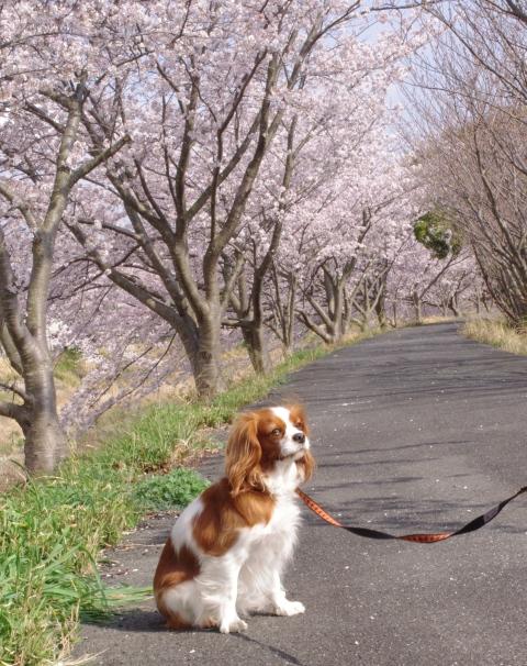 330_14桜並木