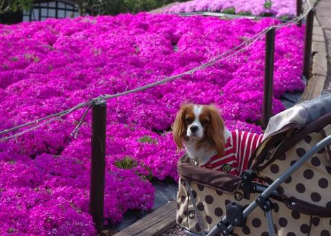 412_12芝桜