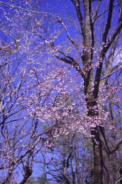 427_2桜