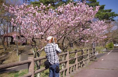 427_13八重桜