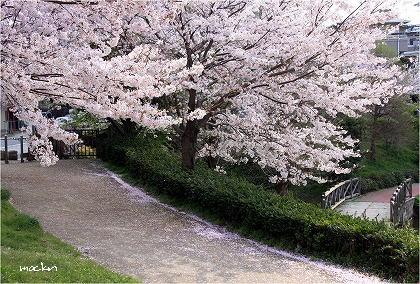 散歩道の桜花