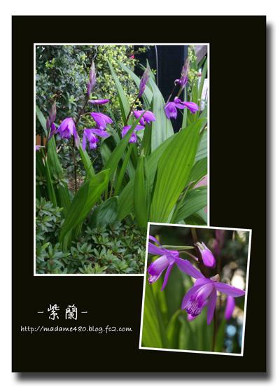 紫蘭web用