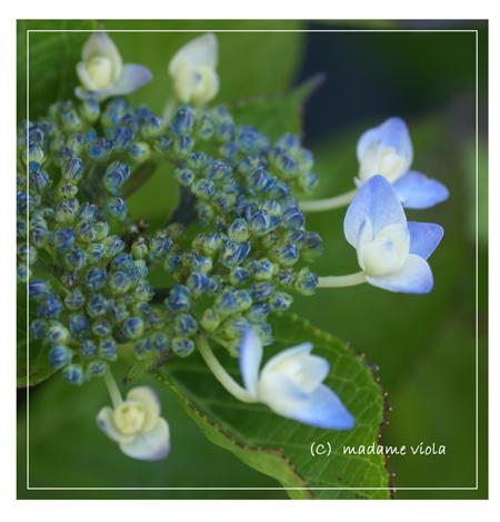 額紫陽花web用A