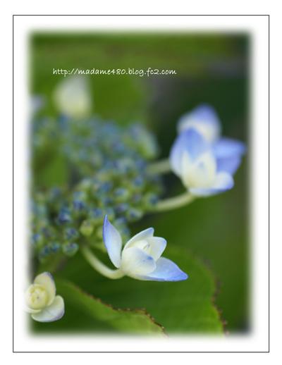 額紫陽花web用B