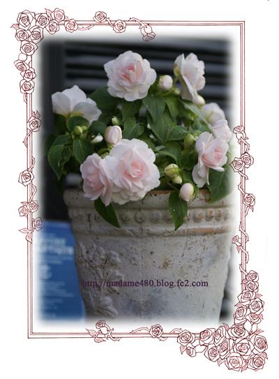 八重咲きインパチェンスweb用A