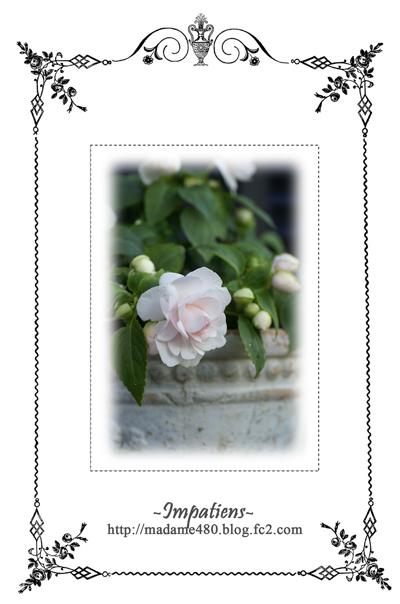 八重咲きインパチェンスweb用C