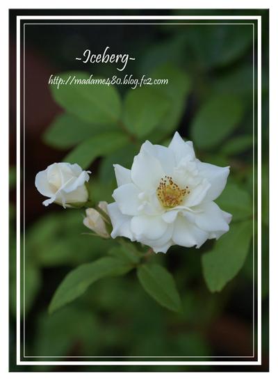 アイスバーグ房咲きweb用7月
