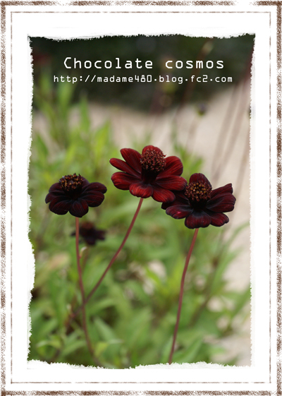 チョコレートコスモスweb用B