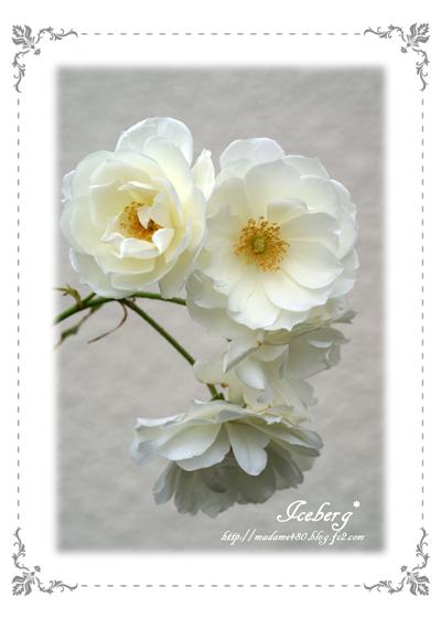 アイスバーグ最後の花web用