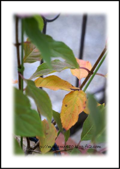 ノリウツギ葉っぱ紅葉web