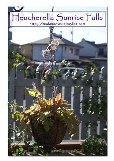 ヒューケラサンライズフォールの花web用A