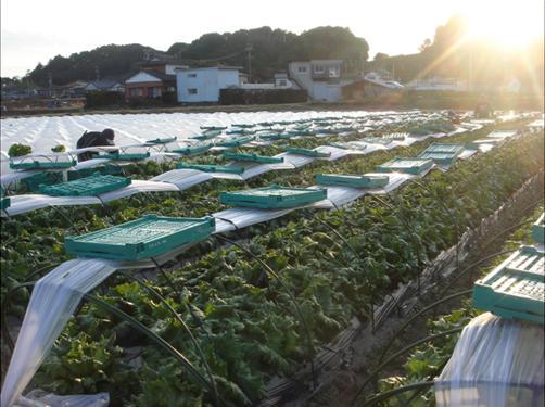 レタス収穫.JPG