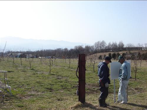 剪定する栗畑.JPG