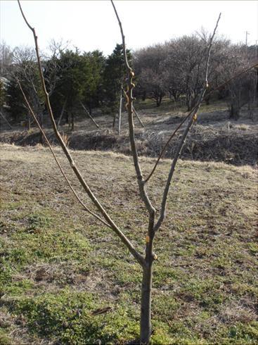プロの剪定した栗の木.JPG