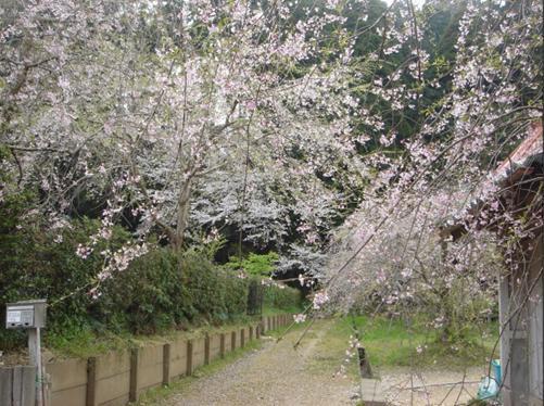 願成就寺の枝垂桜.JPG