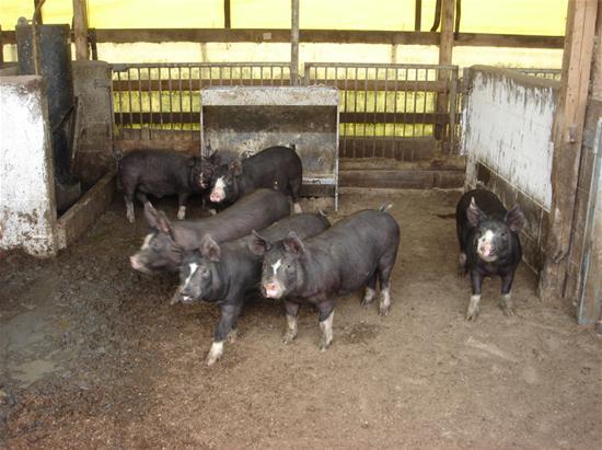 黒豚さん2.JPG