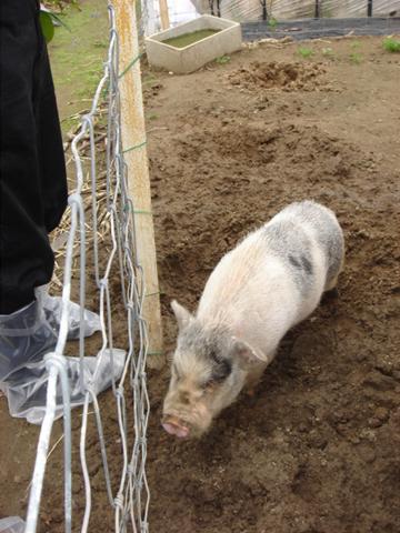 白ミニ豚さん.JPG