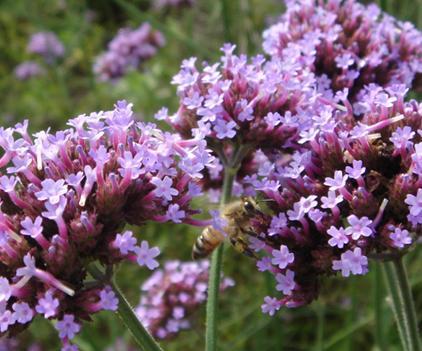 ミツバチと紫の花.JPG