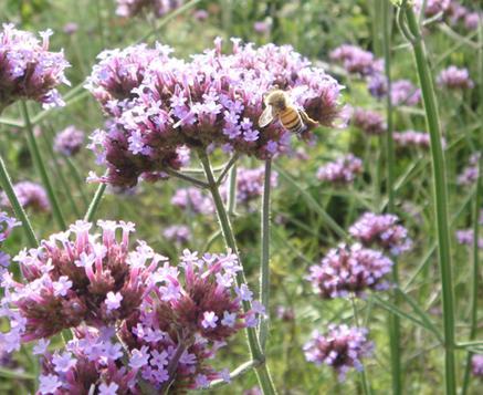 紫とミツバチ.JPG