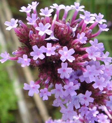紫の花接写.JPG