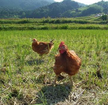 放し飼い養鶏2.jpg