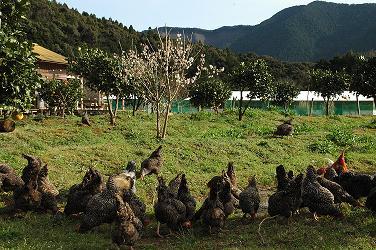 放し飼い養鶏5.jpg