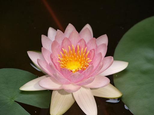 蓮の花2.JPG