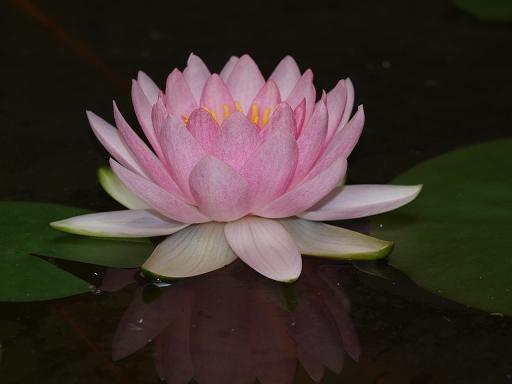 蓮の花4.JPG