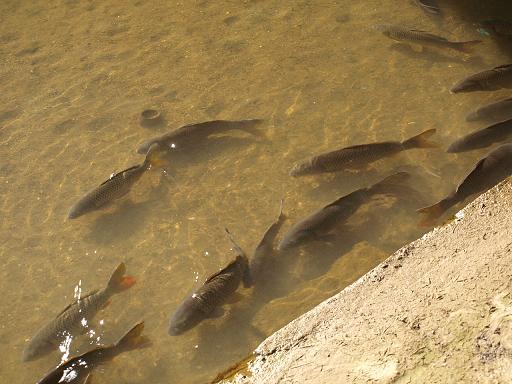 肱川の鯉.JPG