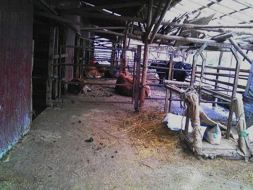 牛舎へ.JPG