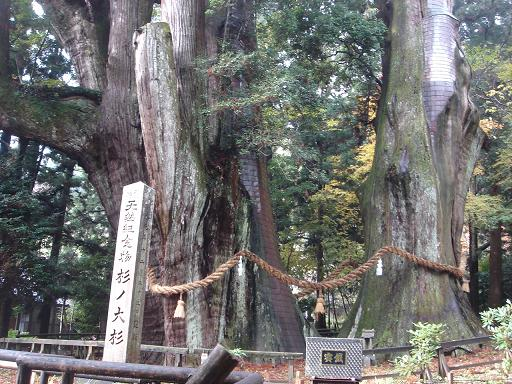 日本一の大杉.JPG