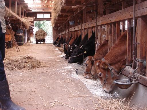 牛の世話ーの.JPG