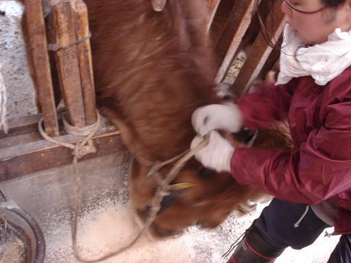 そしてまた牛の世話.JPG