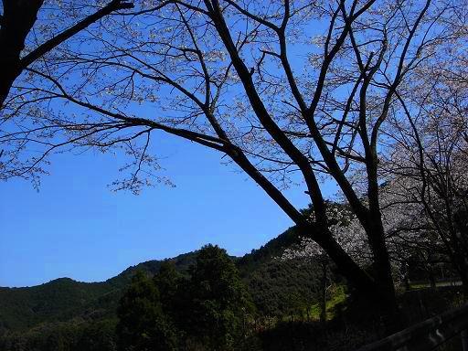 桜の黒い幹.JPG