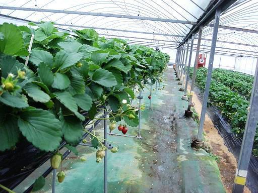 イチゴの収穫.JPG