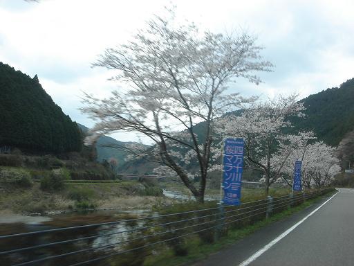 四万十川桜マラソン.JPG