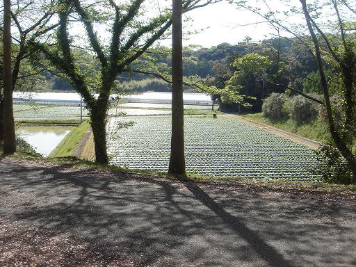 タバコ畑.JPG