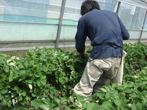 イチゴの花芽採り.JPG