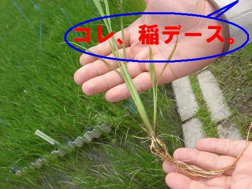 コレ、稲デース.JPG