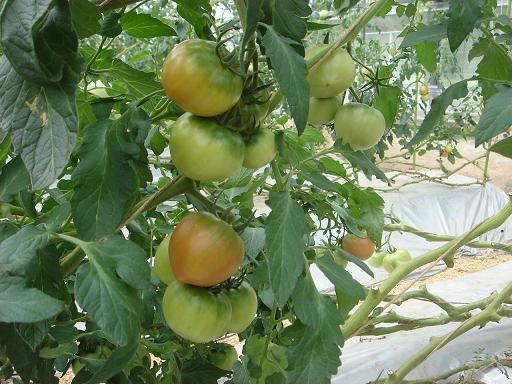トマトの実3.JPG