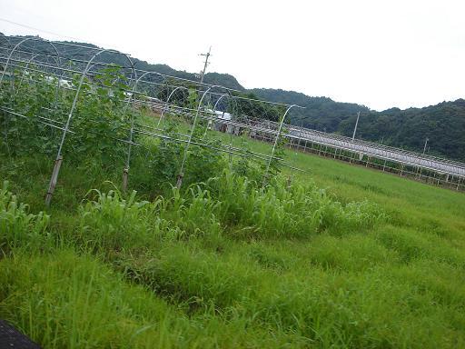 露地キュウリと雑草.JPG