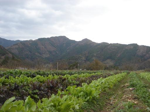 大根やカブの農場.JPG