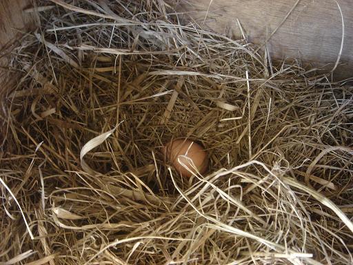 巣を作って産卵.JPG