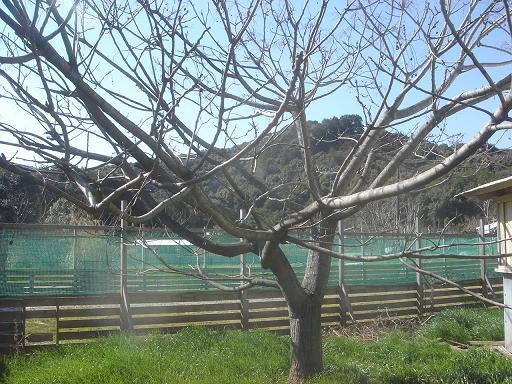 センダンの木.JPG